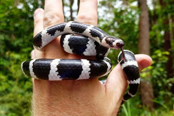 Bandy Bandy Snake