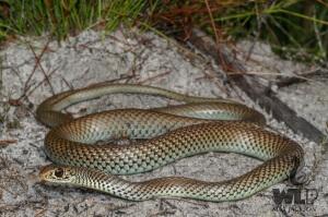 Lesser Black Whip Snake